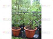 Кедр живой в горшке для высадки, высота 30-50 см, 3-5 лет