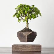 Левитирующее растение Бонсай (венге)