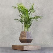Левитирующее растение Хамедорея (венге)