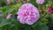 Историческая роза Pink Leda