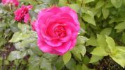Плетистая роза MARITIM