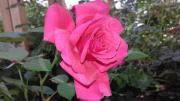 Чайно-гибридная роза HAYDOCK PARK