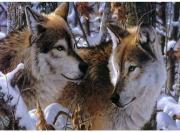 Color Kit Набор для вышивания бисером Волки в зимнем лесу