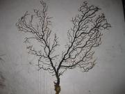 Коралл морской Гаргонария 20-25 см
